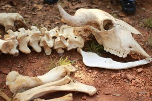 Animal Bones: Uses for Survival